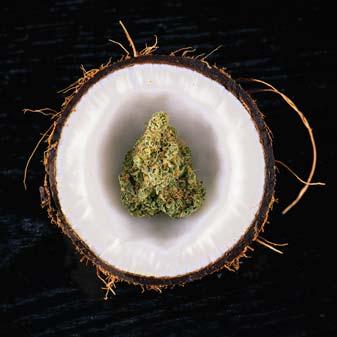 Cannabis Bud Nug In Coconut Photo