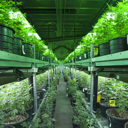 Cannabis Marijuana Grow Operation Photo